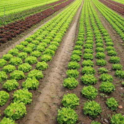 Organics Crops Suppliers & Exporters in Allahabad